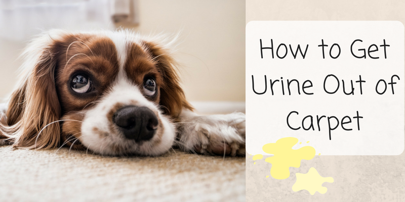 How to Get Urine Smell Out of Carpet