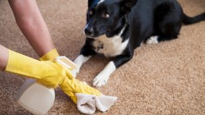 remove dog urine smell from carpet