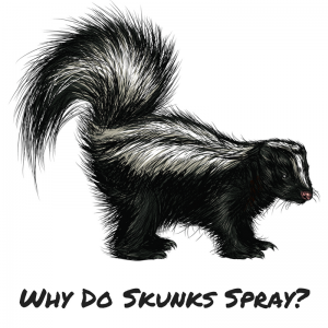 Why Do Skunks Spray