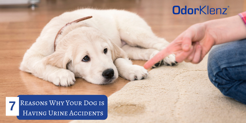 7 Reasons Why Your Dog is Having Urine Accidents