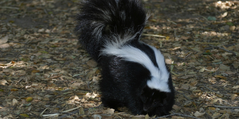Why Does My House Smell Like Skunk